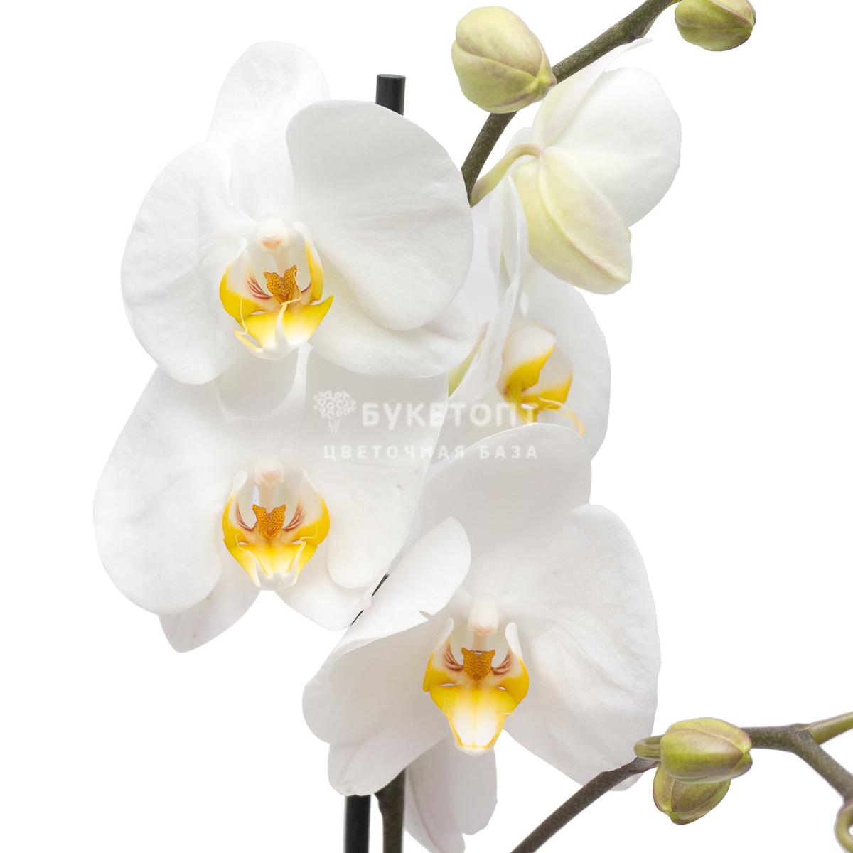 delat-dubler-pozdravlenie-k-podarku-tsveti-orhidei-marta-tyulpani